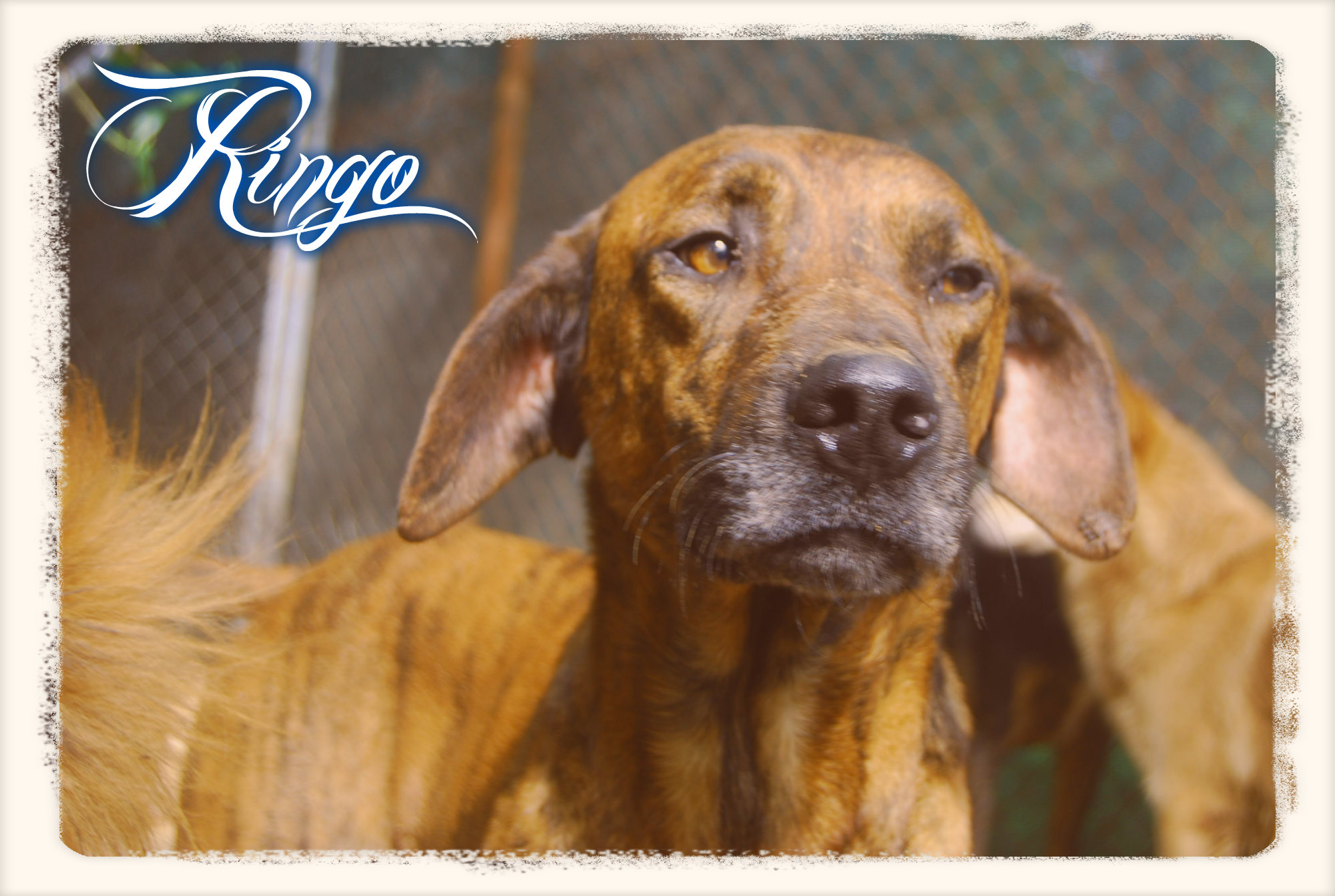 Ringo 4