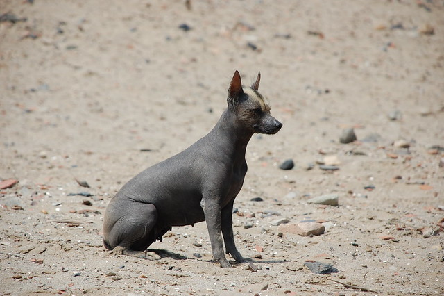 hairless peruvian dog with a moheican