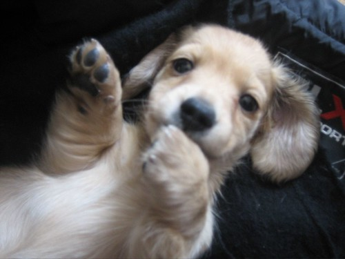 Dachshund Puppies Miniature Long Haired
