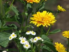 gaillardia(0.0), calendula(0.0), prairie(0.0), nectar(0.0), marguerite daisy(0.0), chamaemelum nobile(0.0), tanacetum parthenium(0.0), daisy(0.0), annual plant(1.0), flower(1.0), yellow(1.0), plant(1.0), herb(1.0), wildflower(1.0), flora(1.0), oxeye daisy(1.0),
