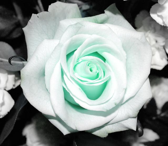 Light Green Roses Light Green Rose on Bl...