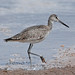 Willet - Photo (c) Jerry Oldenettel, some rights reserved (CC BY-NC-SA)