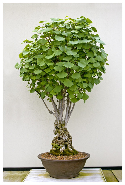 bonsai a gallery on flickr. Black Bedroom Furniture Sets. Home Design Ideas