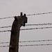 Small photo of Electrified Barb Wire