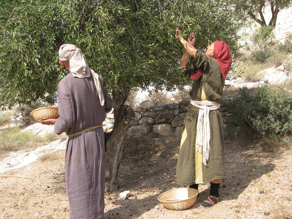 Olive harvest at Nazareth Village