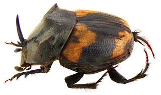Onthophagus bifasciatus Fabricius, 1781 male Syn.: Paraphanaeomorphus bifasciatus Fabricius, 1781