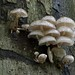 Porcelain Mushroom - Photo (c) Harry Harms, some rights reserved (CC BY-NC-SA)