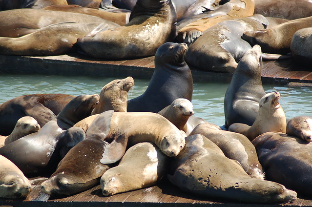 Sea Lions at Pier 39 - Fisherman's Wharf, San Francisco