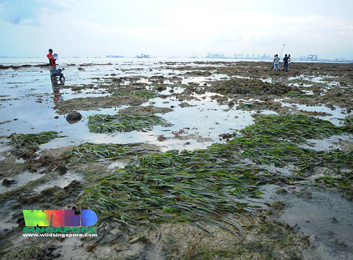 Living seagrass meadows