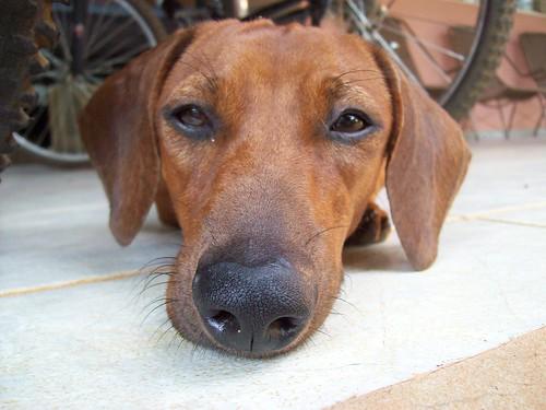 O super olfato canino - Petlove - O Maior Petshop Online do Brasil