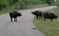 bull(0.0), bison(0.0), safari(0.0), wildlife(0.0), cattle-like mammal(1.0), animal(1.0), water buffalo(1.0), wildebeest(1.0), working animal(1.0), mammal(1.0), herd(1.0), grazing(1.0), fauna(1.0), pasture(1.0),