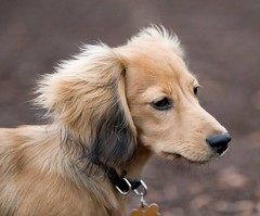 shaded english cream long haired dachshund 6 months
