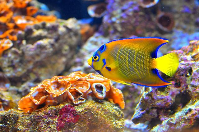 Colorful tropical fish flickr photo sharing for Colorful tropical fish