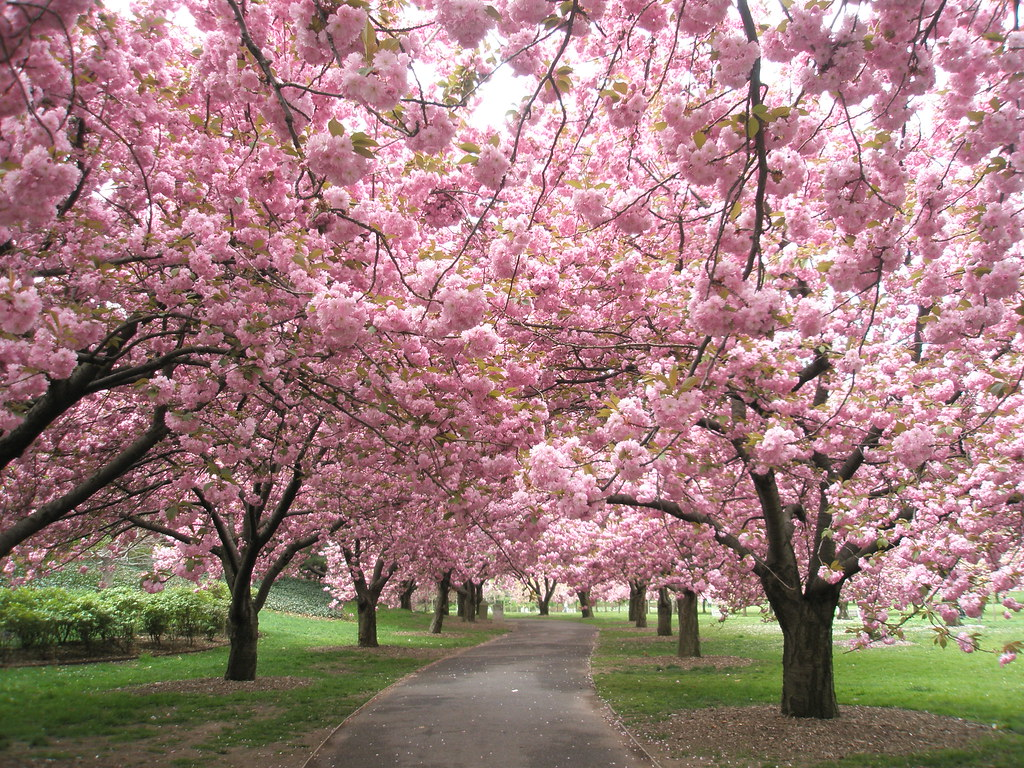 Cherry Blossoms at the Brooklyn Botanical Garden
