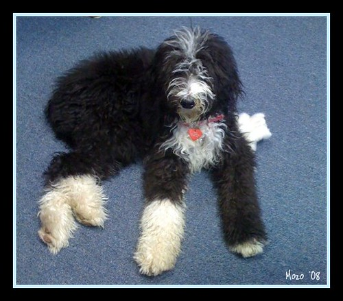 ... Puppy Old English Sheepdog Standard Poodle Hybrid | Dog Breeds Picture