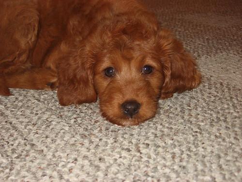 Red Goldendoodle Puppi...