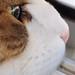 l'Œil de mon chat europeen ©BreesyBreizh