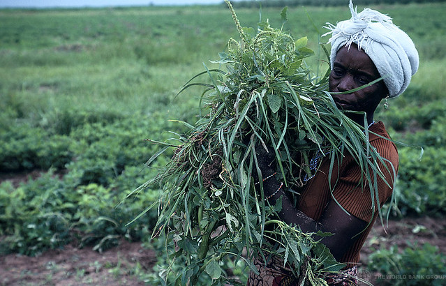 Woman harvests crops in Nigeria
