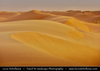 Oman - Wahiba Sands - Lonely Camel at Warm Sunset Time