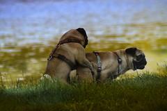 labrador retriever(0.0), puppy(0.0), animal(1.0), dog(1.0), grass(1.0), pet(1.0), mammal(1.0), pug(1.0),