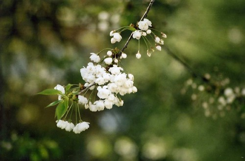 Cherry Blossom Close Up - Prunus Avium Branch