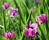springflower5