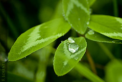annual plant, dew, drop, leaf, water, plant, nature, macro photography, flora, green, moisture, close-up,
