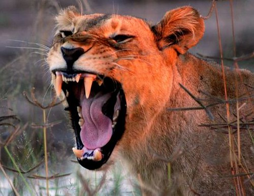 angry lioness - photo #24
