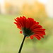 Gerbera Small Red