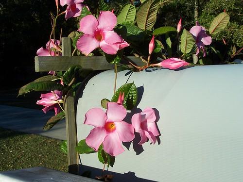 Pink Flower On MailBox