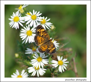 Pearl Crescent butterfly on wild Heath Aster...