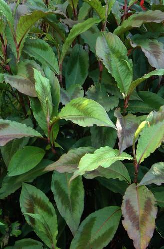 Persicaria virginiana Compton's form