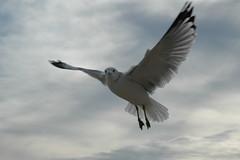 Sea Gull 019