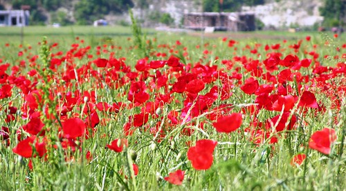 Poppies, Albania