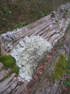 Lichen on sussex fencing