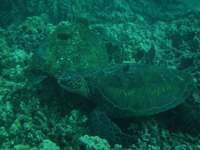 Little black fish eat algae off the green sea turtles for What fish eat algae
