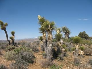 joshua trees in bloom, joshua tree national park