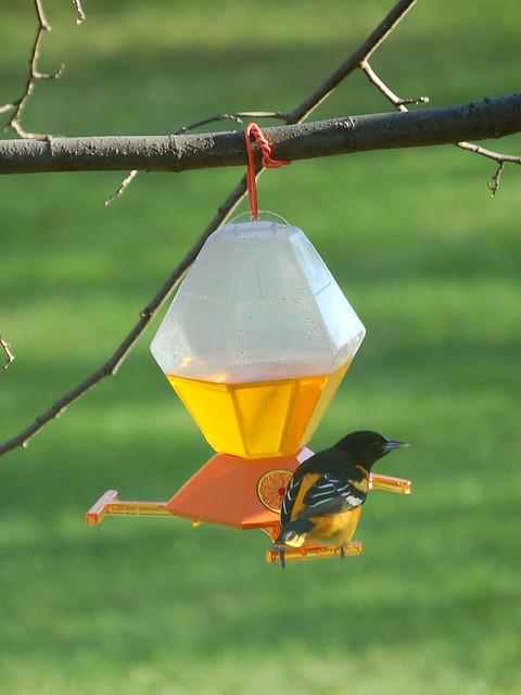 Baltimore Oriole On Bird Feeder Flickr Photo Sharing