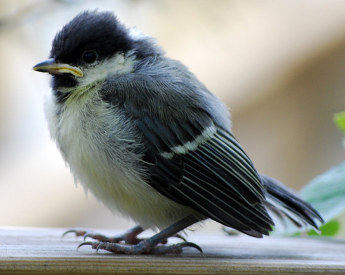 Young Great Tit on one of its first excursions from the nest
