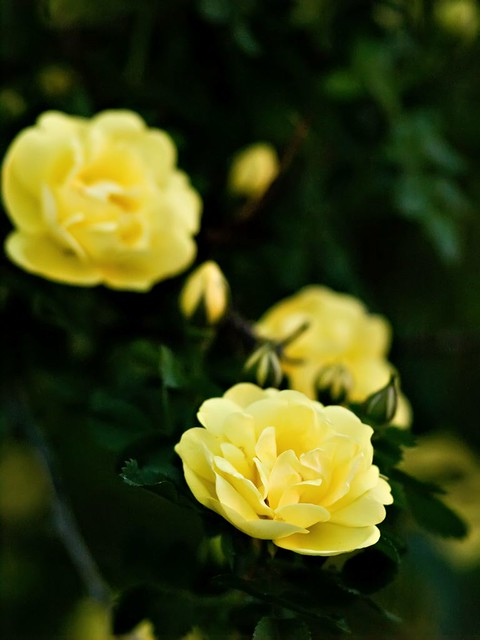 joyce yellow rose 346 flickr photo sharing. Black Bedroom Furniture Sets. Home Design Ideas