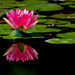 Lotus reflected
