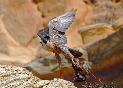 Peregrine Falcon Talons Peregrine Falcon Torrey Pines