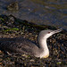 What's the Value of a Red-throated Loon (to you)??