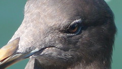 Sea gull close-up