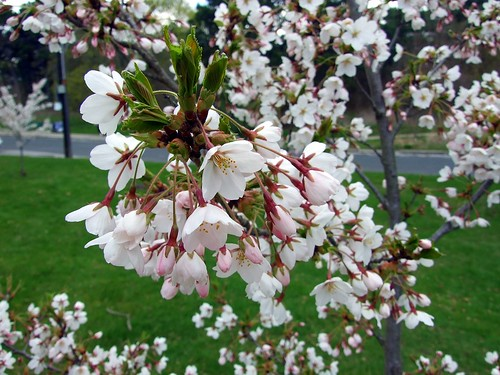 Cherry Blossoms in High Park