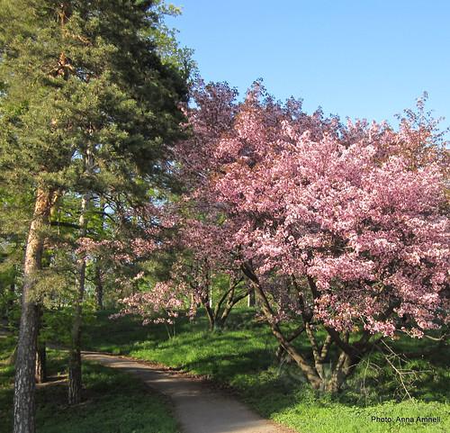 Rusokirsikkapuu