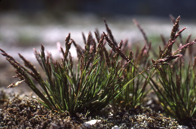 Header of Agrostis rossiae