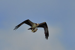 Osprey and Fish DSC_6424 by Mully410 * Images