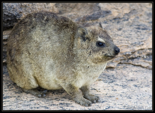 hyrax cousin of elephant