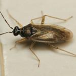 kis karcsúnyakú-mezeipoloska - Dicyphus globulifer